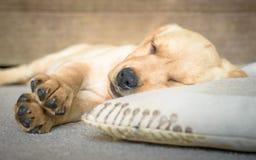 逗人喜爱拉布拉多小狗睡觉 免版税库存图片