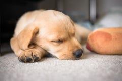 逗人喜爱拉布拉多小狗睡觉 免版税图库摄影
