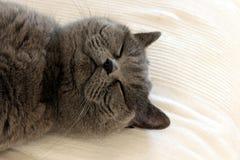逗人喜爱灰色猫睡觉 库存图片