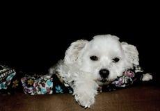 逗人喜爱的一点乏味小狗 免版税库存照片