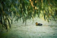 逗人喜爱的一点鸭子游泳在水中 库存图片