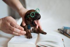逗人喜爱的一点ridgeback新出生的幼兽 免版税库存图片