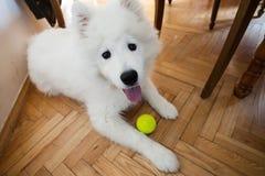 逗人喜爱的与网球的小狗萨莫耶特人室内戏剧 图库摄影