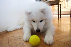 逗人喜爱的与网球的小狗萨莫耶特人室内戏剧 库存照片