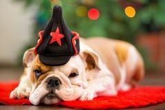 逗人喜爱的与鹿头的小狗英国牛头犬在隆重cornuted接近与xmas玩具的圣诞树 图库摄影