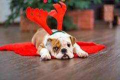 逗人喜爱的与鹿头的小狗英国牛头犬在隆重cornuted接近与xmas玩具的圣诞树 免版税图库摄影