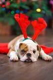 逗人喜爱的与鹿头的小狗英国牛头犬在隆重cornuted接近与xmas玩具的圣诞树 免版税库存照片