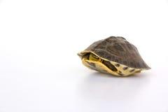 逗人喜爱的乌龟 库存照片