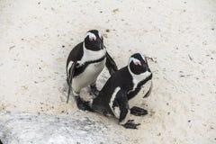 逗人喜爱的企鹅在冰砾一起靠岸,开普敦 免版税图库摄影
