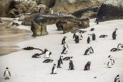 逗人喜爱的企鹅在冰砾一起靠岸,开普敦 免版税库存照片
