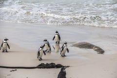 逗人喜爱的企鹅在冰砾一起靠岸,开普敦 库存照片