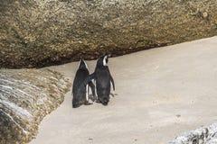 逗人喜爱的企鹅在冰砾一起靠岸,开普敦 免版税库存图片