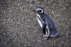 逗人喜爱的企鹅,小猎犬海峡,乌斯怀亚,阿根廷 库存照片