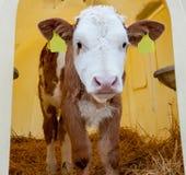 逗人喜爱的健康小的小牛画象  免版税库存图片