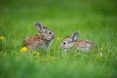 逗人喜爱的兔子用坐在草的花蒲公英 兽性栖所,生活在草甸 欧洲的兔子或共同性 免版税图库摄影