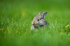 逗人喜爱的兔子用坐在草的花蒲公英 兽性栖所,生活在草甸 欧洲的兔子或共同性 库存照片