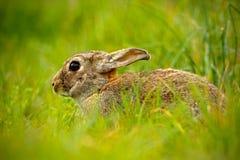 逗人喜爱的兔子用坐在草,动物的花蒲公英在自然栖所,生活在草甸,德国 库存照片