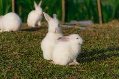 逗人喜爱的兔子白色 免版税库存照片