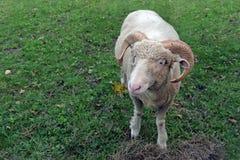 逗人喜爱的公羊 免版税库存照片