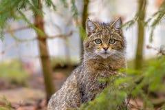 逗人喜爱的关闭欧洲野生猫 免版税库存照片
