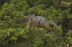 逗人喜爱的加利福尼亚灰色灰鼠看从一棵常青树的照相机 库存照片