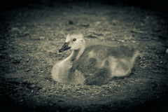 逗人喜爱的加拿大鹅 免版税库存图片