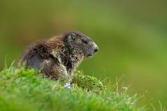 逗人喜爱的动物 战斗的动物土拨鼠,早獭早獭,在与自然岩石山栖所的草,阿尔卑斯,奥地利 与g的Mormot 免版税图库摄影