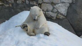 逗人喜爱的北极熊崽 影视素材
