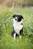 逗人喜爱的博德牧羊犬小狗 库存图片