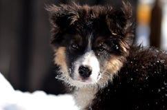 逗人喜爱的博德牧羊犬小狗画象 库存图片