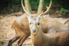 逗人喜爱的印地安肉猪鹿(Hyelaphus porcinus),一头小鹿ha 免版税库存照片