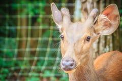 逗人喜爱的印地安肉猪鹿(Hyelaphus porcinus),一头小鹿ha 免版税库存图片