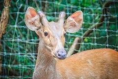 逗人喜爱的印地安肉猪鹿(Hyelaphus porcinus),一头小鹿ha 免版税图库摄影
