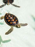 逗人喜爱的危险的小乌龟 免版税库存照片
