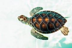 逗人喜爱的危险的小乌龟 免版税库存图片