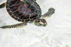 逗人喜爱的危险的小乌龟 图库摄影