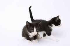 逗人喜爱的双无尾礼服小猫 免版税库存照片
