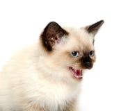 逗人喜爱的发出嘘声的小猫 库存图片