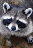逗人喜爱的可怜的浣熊 免版税库存照片