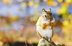 逗人喜爱的吃螺母红松鼠 免版税库存照片