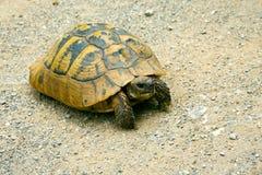 逗人喜爱的含沙土壤乌龟 免版税图库摄影