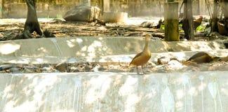 逗人喜爱的吹哨的鸭子Dendrocygna javanica 库存图片