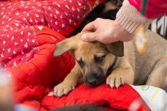 逗人喜爱的哀伤的棕色谎言小狗 抚摸小狗的手 库存图片