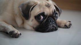 逗人喜爱的哈巴狗狗的特写镜头面孔