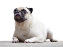 逗人喜爱的哈巴狗狗 免版税库存图片