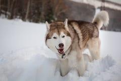 逗人喜爱的嗥叫西伯利亚爱斯基摩人狗身分画象在雪的在冬天森林里 免版税库存照片
