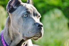 逗人喜爱的四个月的意大利大型猛犬藤茎corso扫视 库存图片