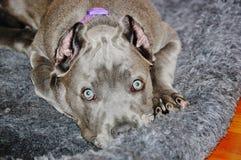 逗人喜爱的四个月的意大利大型猛犬藤茎corso扫视 库存照片