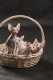 逗人喜爱的四只小猫sphynx 免版税库存照片