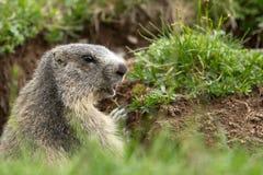 土拨鼠在阿尔卑斯 库存图片